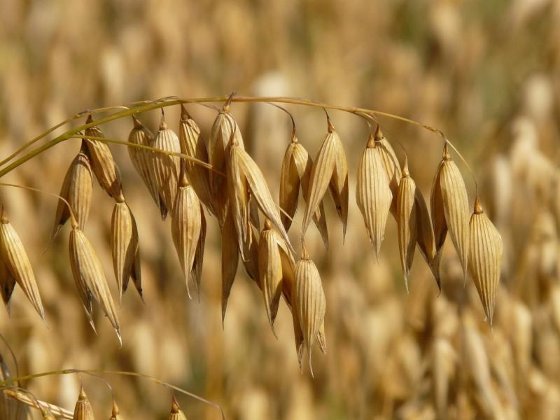 oats-8946_1920 (pixabay_Hans)